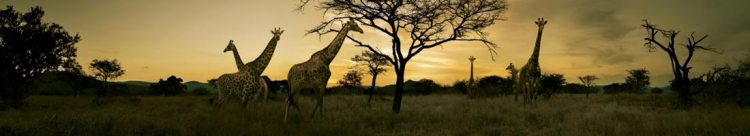 Giraffes South Africa Kruger Nat Park